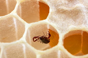 Pseudoscorpion (Chelifer sp.) inside a honeycomb cell, living together with Honey bees (Apis mellifera) in bee hive, Germany. August. Controlled conditions. These tiny arachnids feed on tracheal mites...  -  Ingo Arndt