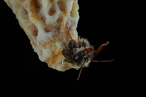 Close up of a Honey bee (Apis mellifera) queen hatching out of a brood cell, Germany. May. Sequence 4 of 7  -  Ingo Arndt