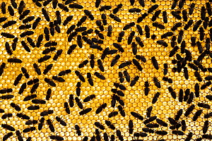 Dorsal view of Honey bees (Apis mellifera) on honeycomb, Germany. May.  -  Ingo Arndt