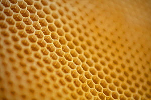 Honeycomb cells filled with honey collected by Honey bees (Apis mellifera), Germany. May.  -  Ingo Arndt