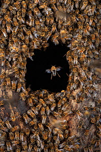Honey bee (Apis mellifera) swarm starting a colony inside an abandoned Black woodpecker nest cavity, showing nest entrance from outside, Germany. May.  -  Ingo Arndt