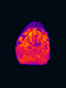 Thermal image of a Honey bee (Apis mellifera) colony in an abandoned Black woodpecker nest in a tree cavity, viewed from the nest entrance at night. Cooler parts appear darker, warmer parts appear bri...  -  Ingo Arndt