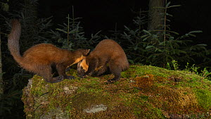 Timelapse of two Pine martens (Martes martes) playfighting, filmed by camera trap, Trossachs National Park, Scotland, UK, September.  -  Terry Whittaker