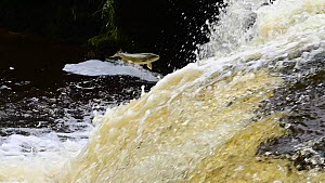 Atlantic salmon (Salmo salar) leaping a waterfall to reach spawning grounds upstream, River Endrick, Trossachs National Park, Scotland.  -  Terry Whittaker