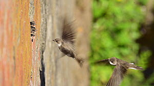 Pair of Sand martins (Riparia riparia) returning to chicks at nest located in old drainage pipes along River Mersey retaining walls, Greater Manchester, UK.  -  Terry Whittaker