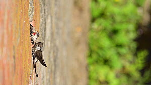 Sand martin (Riparia riparia) chicks begging to be fed by returning parent, Greater Manchester, UK.  -  Terry Whittaker