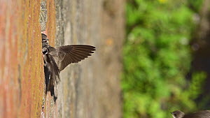 Sand martins (Riparia riparia) returning to chicks in nest located in old drainage pipes along River Mersey retaining walls, Greater Manchester, UK.  -  Terry Whittaker