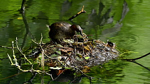Little grebe (Tachybaptus ruficollis) rearranging nest material to uncover egg, before settling down and incubating it, Reddish Vale Country Park, Greater Manchester.  -  Terry Whittaker