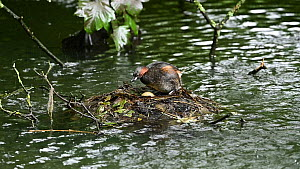 Little grebe (Tachybaptus ruficollis) turning egg in nest before settling and incubating it, Reddish Vale Country Park, Greater Manchester.  -  Terry Whittaker