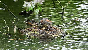 Pair of Little grebe (Tachybaptus ruficollis) with chicks at floating nest, Reddish Vale Country Park, Greater Manchester.  -  Terry Whittaker