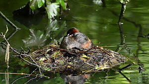 Little grebe (Tachybaptus ruficollis) sitting on nest with chick in feathers, Reddish Vale Country Park, Greater Manchester.  -  Terry Whittaker