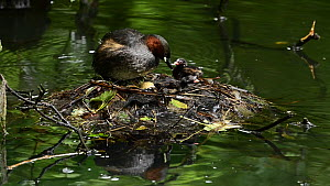 Little grebe (Tachybaptus ruficollis) leaving nest, other parent getting on and settling with egg and chicks, Reddish Vale Country Park, Greater Manchester.  -  Terry Whittaker