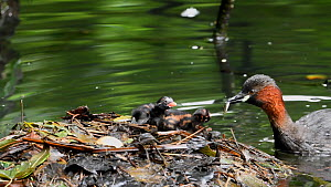 Little grebe (Tachybaptus ruficollis) feeding small fish to chicks at nest, Reddish Vale Country Park, Greater Manchester.  -  Terry Whittaker