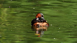 Little grebe (Tachybaptus ruficollis) swimming with chicks on back, catches insect and attempts to feed to chick, Reddish Vale Country Park, Greater Manchester.  -  Terry Whittaker