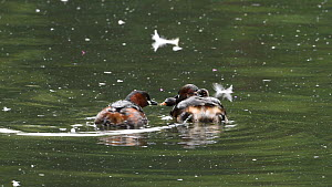 Little grebe (Tachybaptus ruficollis) swimming with chicks on back, other parent feeds a chick and leaves, Reddish Vale Country Park, Greater Manchester.  -  Terry Whittaker