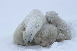 Polar bear (Ursus maritumus) female and twin cubs (age about 10-11 months) resting in a day-bed during a snowstorm. Wapusk National Park , Hudson Bay, Manitoba, Canada. November.  -  Jenny E. Ross