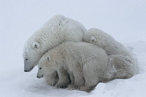 Mother polar bear (Ursus maritumus) and twin cubs (about 10-11 months old) resting in a day-bed during a snowstorm. Wapusk National Park near the edge of Hudson Bay, Manitoba, Canada.  -  Jenny E. Ross