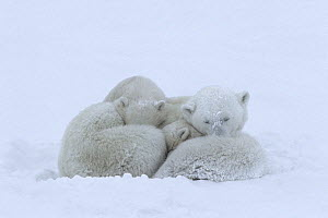 Mother polar bear (Ursus maritumus) and twin cubs (about 10-11 months old) sleeping during a snowstorm. Wapusk National Park near the edge of Hudson Bay, Manitoba, Canada.  -  Jenny E. Ross