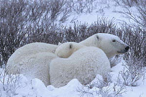 Polar bear (Ursus maritimus) mother and cub rest in willows on the shore of Hudson Bay during a snowstorm, Western Hudson Bay, Manitoba, Canada. November.  -  Jenny E. Ross