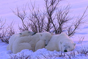 Polar bear (Ursus maritimus) mother and twin cubs rest in the snow among willows on the shore of Hudson Bay, Manitoba, Canada. November.  -  Jenny E. Ross