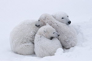 Polar bear (Ursus maritumus) female and twin cubs (about 10-11 months old) resting in a day-bed during a snowstorm. Wapusk National Park, Manitoba, Canada.  -  Jenny E. Ross
