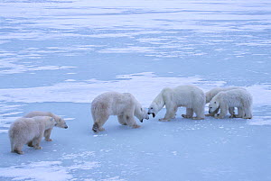Polar bear (Ursus maritimus) territorial confrontation on the sea ice between two polar bear family groups (two adult females each with twin cubs). Wapusk National Park, Hudson Bay, Manitoba, Canada....  -  Jenny E. Ross