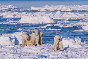 Polar bear (right, foreground) female and her triplets age 23-months triplets, Hudson Bay, Manitoba, Canada. November.  -  Jenny E. Ross