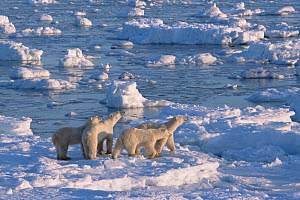 Adult female polar bear (second from left) and her 24-month-old triplets (very unusual for all three to survive), hunting on the sea ice.  -  Jenny E. Ross
