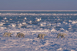 Polar bear (Ursus maritimus) triplet cubs age nearly three years, walking behind their mother. Hudson Bay, Manitoba, Canada. End of November.  -  Jenny E. Ross