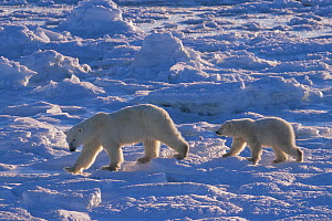 Polar bear cub (Ursus maritimus) about one year old, walking behind her mother as they travel on the sea ice. Hudson Bay, Manitoba, Canada. November.  -  Jenny E. Ross