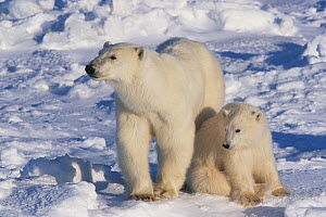 Polar bear cub (Ursus maritimus) resting next to mother as they take a break from traveling on the sea ice. Wapusk National Park, Hudson Bay, Manitoba, Canada  -  Jenny E. Ross