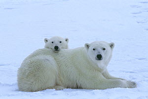 Polar bear (Ursus maritimus) mother and her yearling cub (age 22 months) resting near the edge of the sea ice in Western Hudson Bay, Wapusk National Park, Canada.  -  Jenny E. Ross