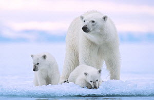 Polar bear (Ursus maritimus) and her twin cubs (age 6 months ) at the edge of fjord ice near Nordaustlandet, Svalbard Archipelago, Norway,  -  Jenny E. Ross