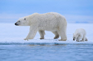 Polar bear (Ursus maritimus) female and her cub (age about 6 months ) walking on the last section of fast-ice near Nordaustlandet, Svalbard Archipelago, Norway, July.  -  Jenny E. Ross