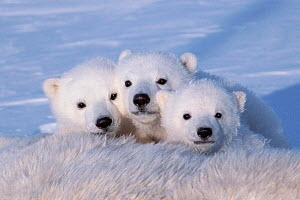Polar bear cubs (Ursus maritimus) triplets age 2-3 months next to their mother. Wapusk National Park, Manitoba, Canada. February  -  Jenny E. Ross