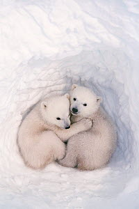 Polar bear (Ursus maritimus) cubs, age 2-3 months, in den, Wapusk National Park, Manitoba, Canada. March.  -  Jenny E. Ross