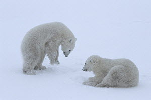 Polar bear (Ursus maritimus) cubs (age 10-11 months) playing together in the snow, mimicking their mother's hunting behaviour and pretending to break into a ringed seal's lair beneath the snow...  -  Jenny E. Ross