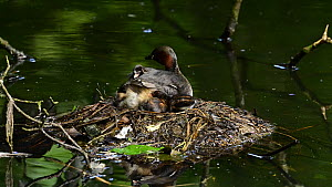 Little grebe (Tachybaptus ruficollis) sititing with chicks at nest before swimming away and leaving nest and chicks unattended, Reddish Vale Country Park, Greater Manchester.  -  Terry Whittaker