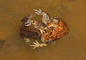 American toad (Anaxyrus americanus), 'toad knot', males attempting to mate with female, Maryland, USA. April.  -  John Cancalosi