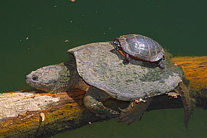 Snapping turtle (Chelydra serpentina) and painted turtle (Chrysemys picta) basking, Maryland, USA. May.  -  John Cancalosi