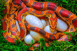 Corn snake (Pantherophis guttatus), female with recently laid eggs, captive, native to Eastern United States  -  John Cancalosi