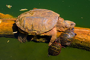 Snapping turtle (Chelydra serpentina) and Painted turtles (Chrysemys picta) basking, Maryland, USA. May.  -  John Cancalosi