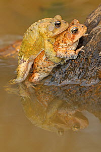 American toad (Anaxyrus americanus), pair in amplexus, Maryland, USA. April.  -  John Cancalosi