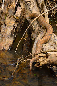 Northern water snake (Nerodia sipedon), Maryland, USA. April.  -  John Cancalosi