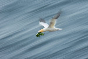 Northern Gannet (Morus bassanus) with nesting material, Great Saltee Island, Co. Wexford, Ireland. June.  -  Guy Edwardes