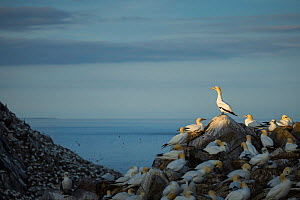 Northern gannet (Morus bassanus) colony at dusk on Great Saltee Island, Co. Wexford, Ireland, June.  -  Guy Edwardes