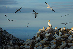 Northern Gannet (Morus bassanus) colony at dusk on Great Saltee Island, Co. Wexford, Ireland (composite image)  -  Guy Edwardes