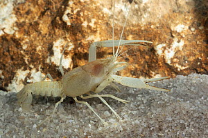 Big Cheeked crayfish( Procambarus deilcata) male, Endemic to Ocala National Forest, USA. Species known from only one cave system and not documented since 1985.Critically endangered  -  Barry Mansell