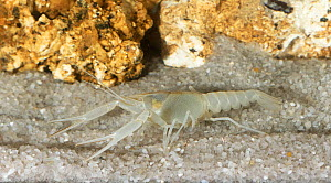 Big Cheeked crayfish( Procambarus deilcata) male Endemic to Ocala National Forest, USA. Species known from only one cave system and not documented since 1985.Critically endangered  -  Barry Mansell