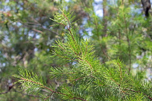 Sand pine tree (Pinus clausa) close up of needles Florida, USA. May.  -  Barry Mansell